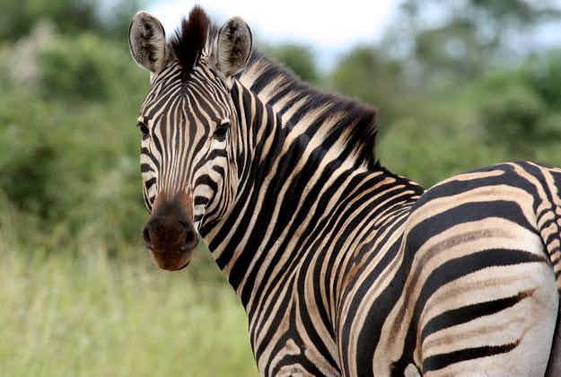 'Extinct' zebra comes back to life in South Africa