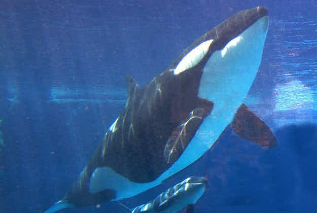 SeaWorld announces end to orca breeding program and theatrical shows