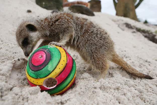 Meerkats, tortoises, gorillas and more in animal stories from around the world