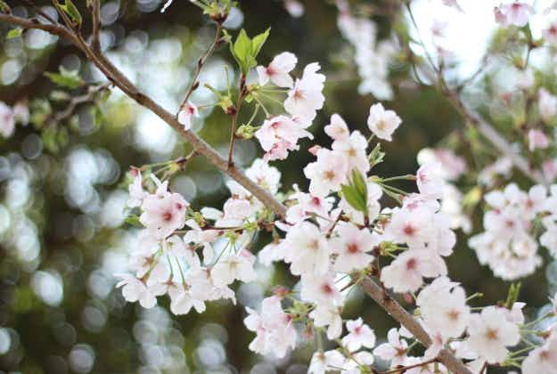 Japan's first cherry blossoms bloom five days early officially marking the beginning of spring