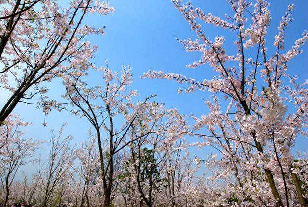 Shanghai's Gucun Park in full bloom for cherry blossom festival