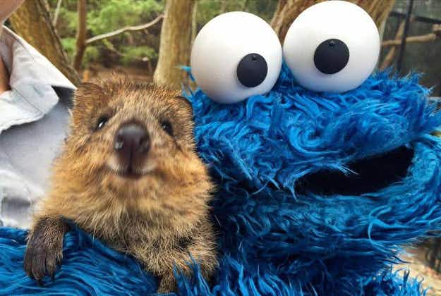The Cookie Monster goes on walkabout at Sydney's Taronga Zoo