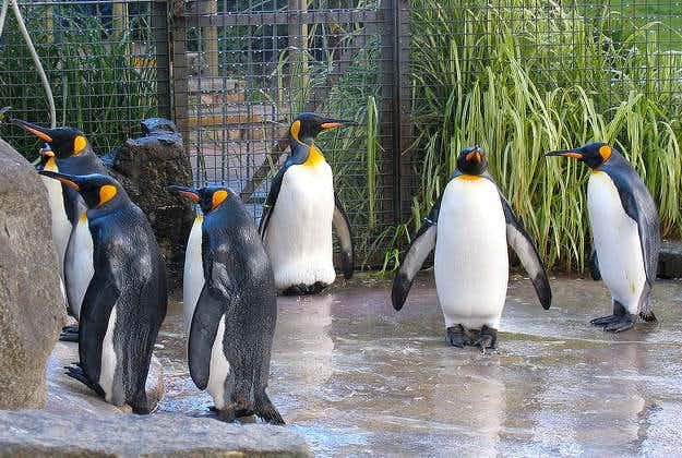 Courting Edinburgh penguins ready to rock