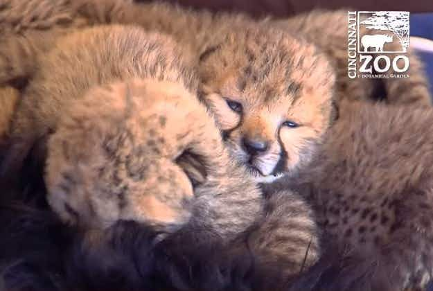 Orphaned cheetah cubs get a new friend in companion dog Blakely at the Cincinnati Zoo