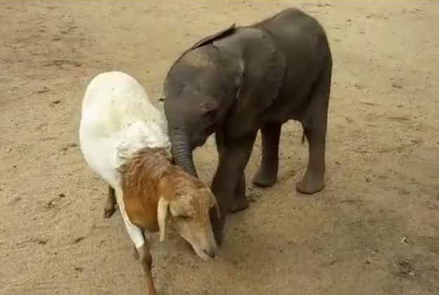 Sheep adopts orphaned baby elephant in South Africa