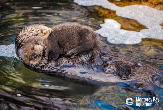 Monterey Bay aquarium films birth of baby sea otter before mum brings junior back to the wild