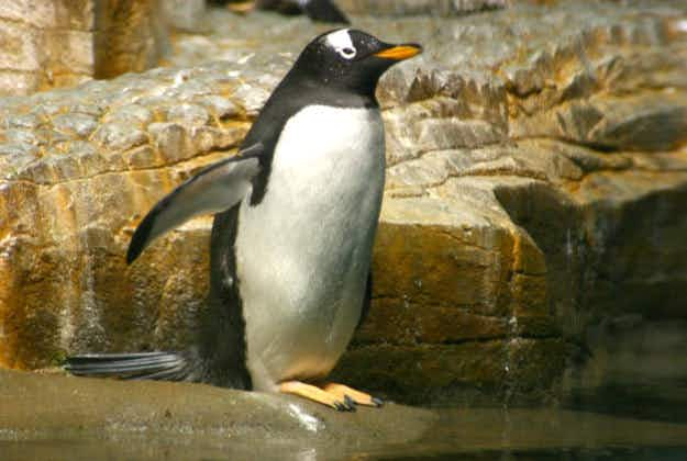 Love is in the air for the penguins building love nests in Chicago's Shedd Aquarium
