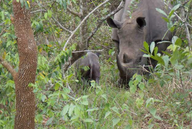 Uganda's Ziwa Sanctuary welcomes another newborn baby rhino