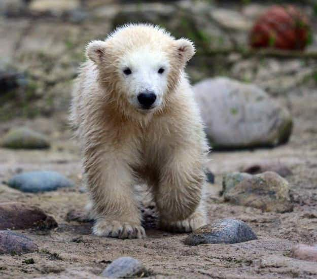 Visitors to Bremerhaven Zoo delighted by first appearance of Lili the polar bear cub