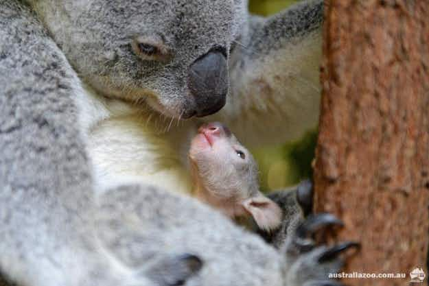 Watch a daredevil baby koala explore the world for the first time