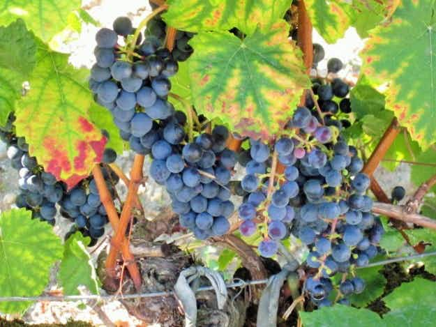 Bordeaux 2015 hailed as magnificent vintage after excellent growing conditions