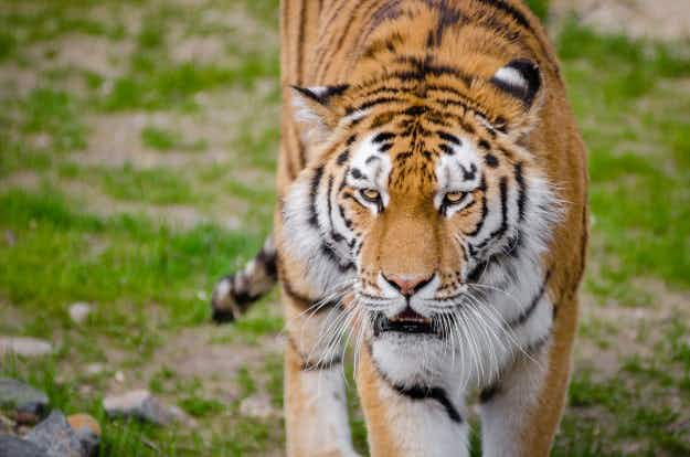 No breeding population means conservationists declare tigers officially extinct in Cambodia