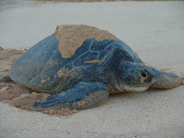 Green turtle populations no longer endangered in Mexico and Florida