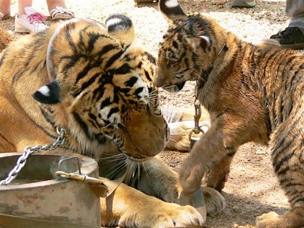 A tiger and cub at Kanchanaburi's Tiger Temple.
