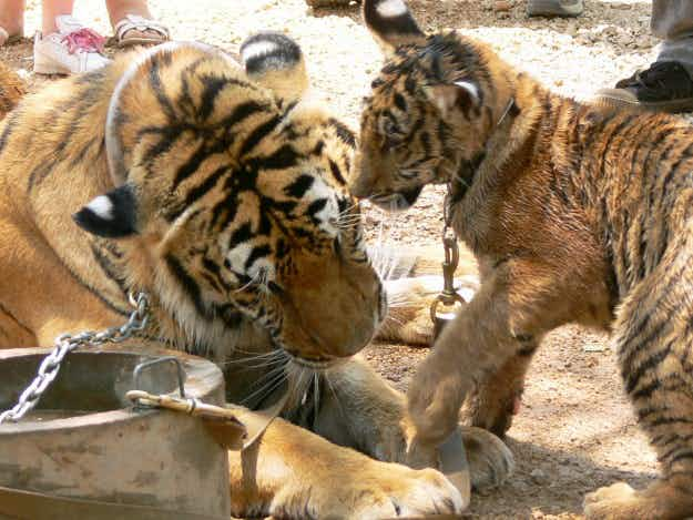 Thailand's Tiger Temple applies for zoo licence in last-ditch effort to keep big cats
