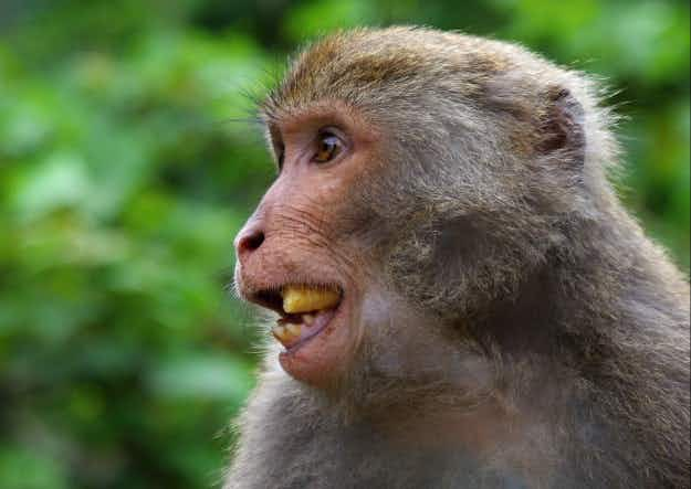 Monkey business in Denmark as macaques escape from Munkholm Zoo