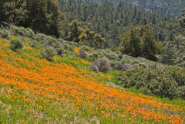 Warm rainy California spring sees National Forest poppies in full bloom