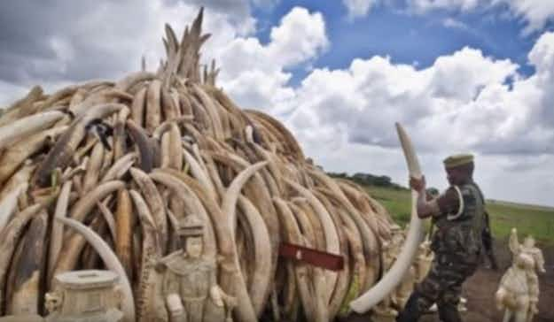 Giants Club summit seeks to bring an end to ivory trade in an effort to save elephants