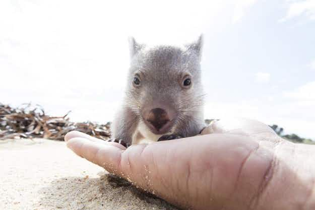 "Competition seeks traveller to be the ""chief wombat cuddler"" on Tasmania's Flinders Island"