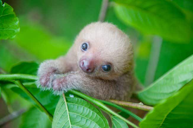 These photos of orphaned baby sloths in Costa Rica have melted our hearts