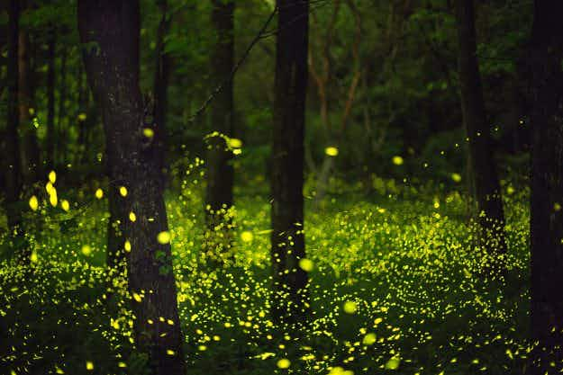 Glowing, glowing, gone - annual sychronised firefly show lights up South Carolina