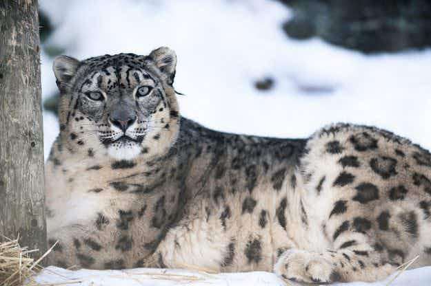 Endangered snow leopards to get protected reserve in Mongolia's Tost Mountains