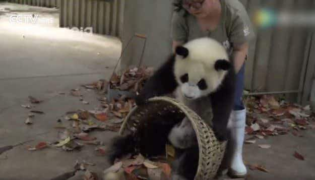 Naughty panda cubs just want to play with their keeper in Chinese breeding reserve