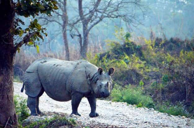 Nepal celebrates two years with no rhino poaching