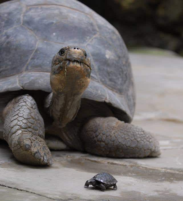 9 Galapagos Tortoise babies born to 80-year-old mother at Zurich Zoo
