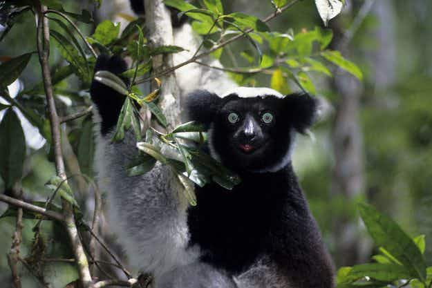 Why the singing indri lemur is music to the ears in Madagascar