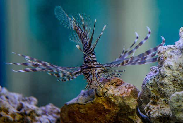 Pretty but spiky: Alien lionfish spreading through the Mediterranean waters