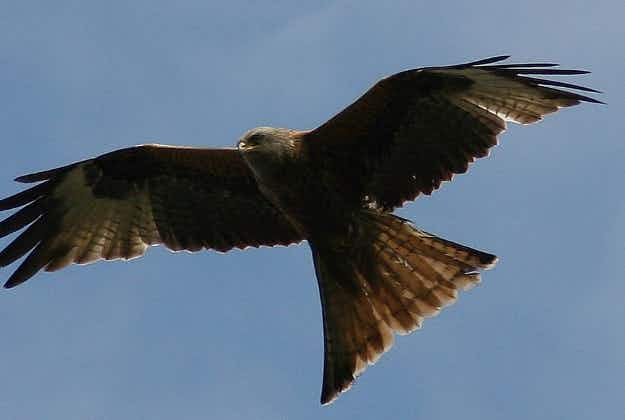 Rare birds of prey steal underwear from Scottish skinnydippers to line nests