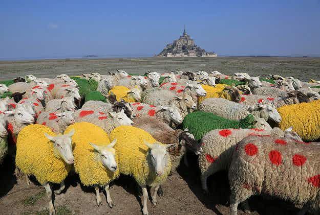Tour de France 2016: Normandy sheep get a splash of colour for cycle race