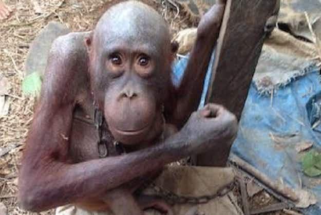 World's saddest orang-utan gets new lease of life after successful rehabilitation