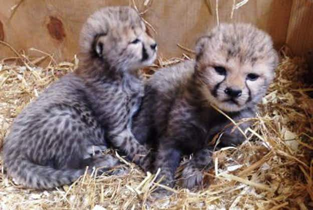 Swedish zoo staff over the moon at birth of adorable cheetah cubs