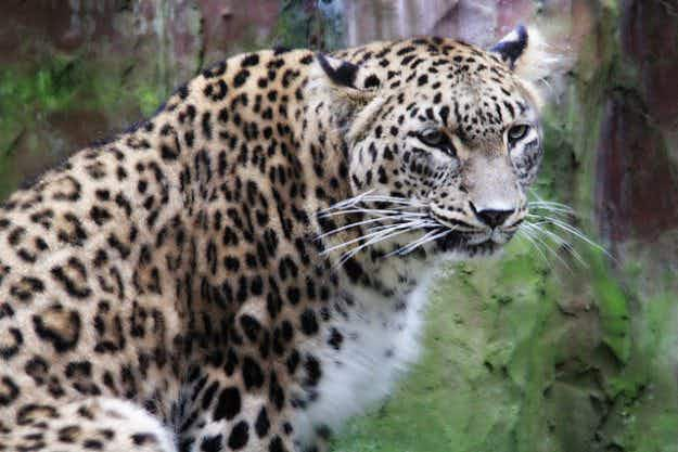 Three endangered Persian leopards reintroduced to the Russian Caucasus