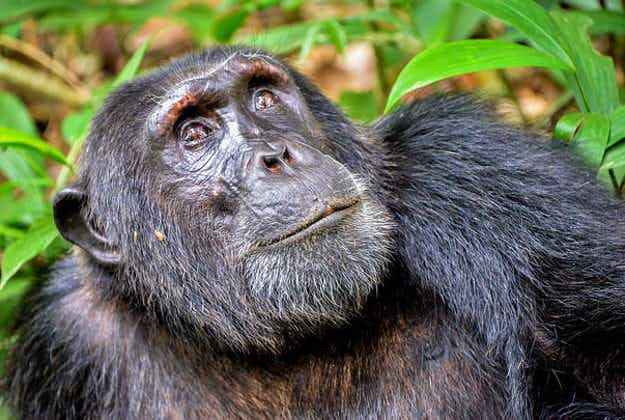 It's official: wild chimpanzees prove that travel broadens the mind