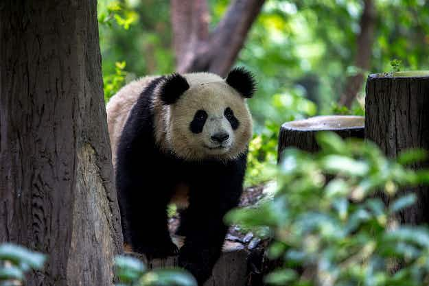 China plans four new national parks dedicated to its endangered species