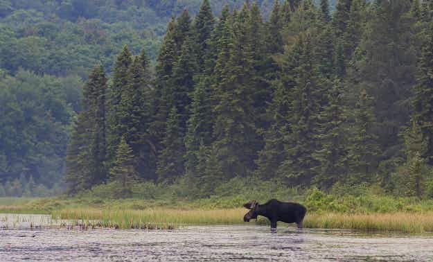 Proposed 400km hiking trail between Canada and the US was inspired by a moose named Alice