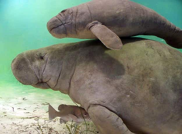 Singapore sends manatees to Guadeloupe for repopulation programme