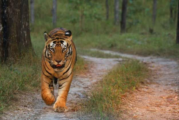 First it was urban leopards in India: now the tigers have moved in too