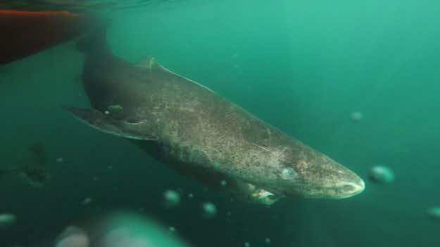 It's official, Greenland sharks can live for up to 400 years, scientists reveal