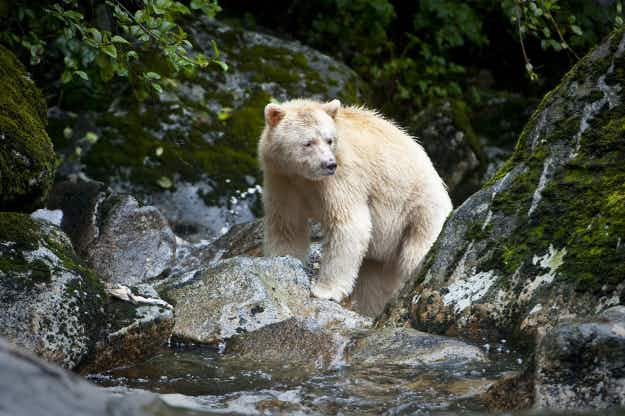 Prince William and Kate to visit Canada's Great Bear Rainforest as it receives special protection