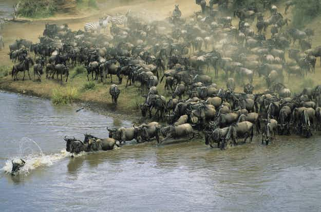 Live online streaming captures massive wildebeest migration in Kenya's Maasai Mara reserve