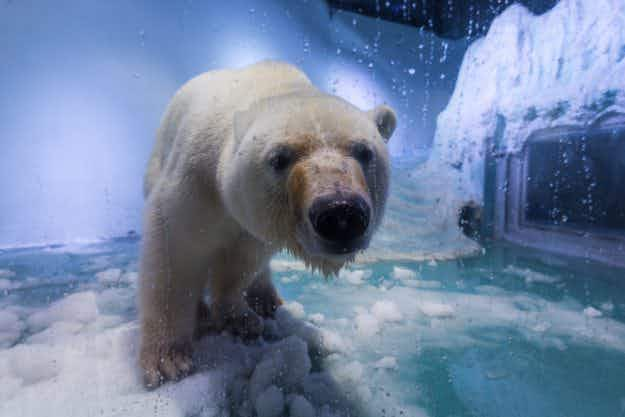 Wildlife Park in the UK offers new home to Pizza the polar bear