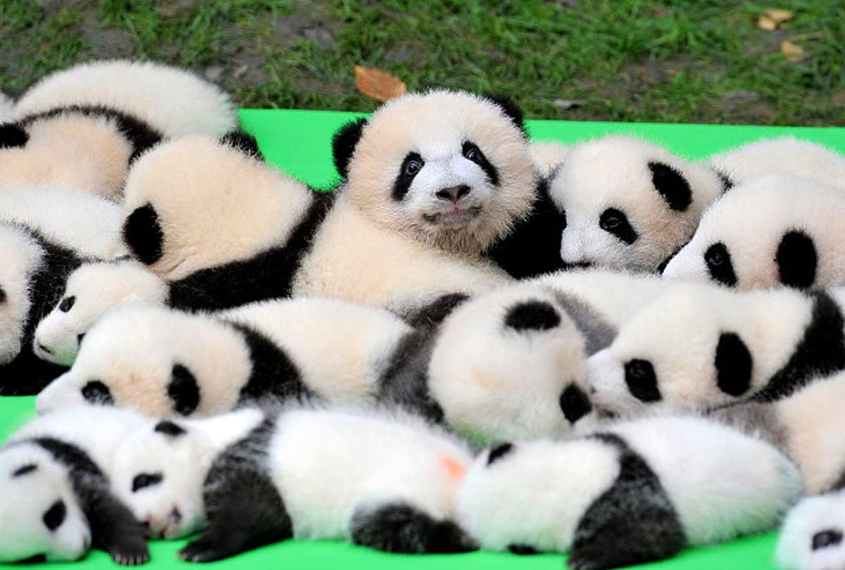 See 23 Baby Pandas Make Their Public Debut At China S Chengdu Panda Research Base Lonely Planet