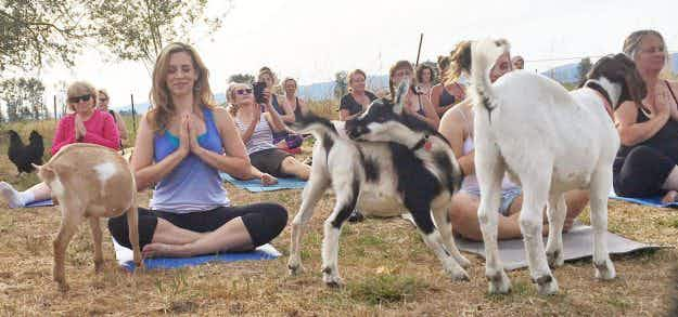 A goat yoga class on a farm in Oregon has become a runaway success