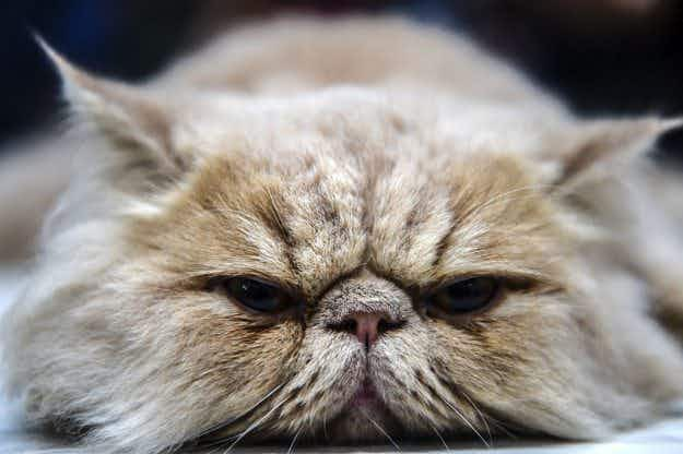 In pictures: cats of the world gather in Istanbul for World Cat Show