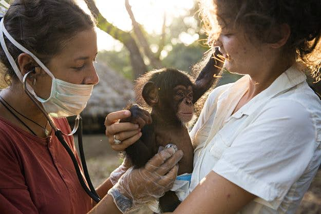No monkeying around: rehabilitating chimpanzees is a labour