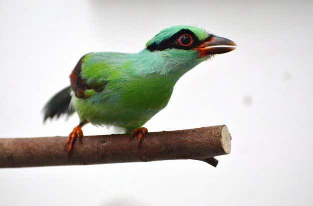 Chester Zoo hatches a plan to boost rare species of green magpie